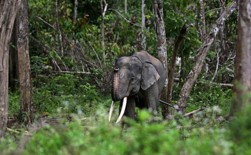 Gajah Liar Melahirkan Di Cagar Alam Riau